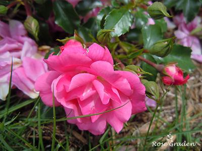 バラ(薔薇):ノアトラム
