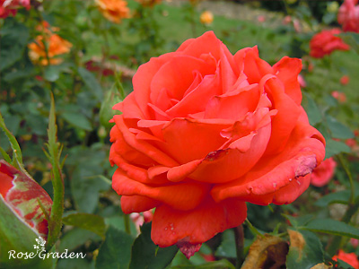 バラ(薔薇):スーパー スター