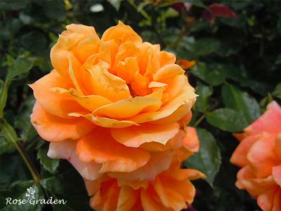バラ(薔薇):万葉