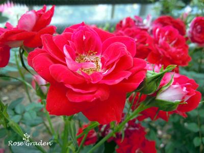バラ(薔薇):ショートケーキ