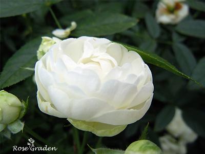 バラ(薔薇):シュネープリンセス