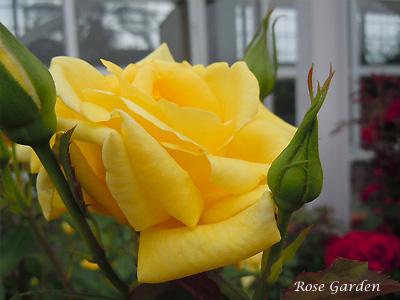 バラ(薔薇):ランドラ