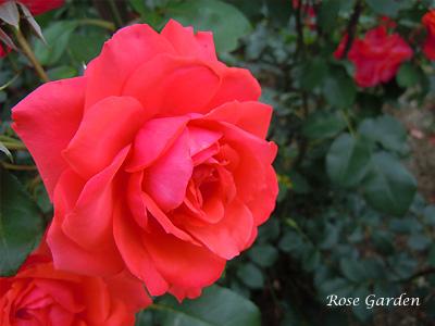 バラ(薔薇) : フィデリオ