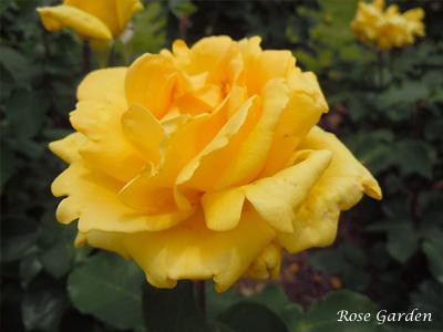 バラ(薔薇):マルコポーロ