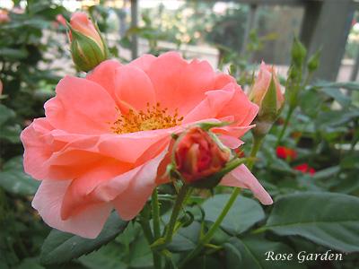 バラ(薔薇):ファッション