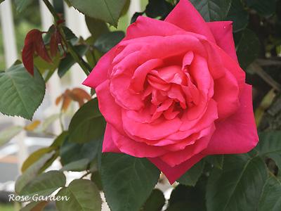 バラ(薔薇):マリア カラス