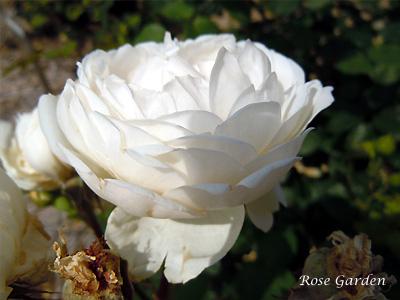 バラ(薔薇):グラミス キャッスル