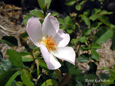 バラ(薔薇):ヘブンリー ロザリンド