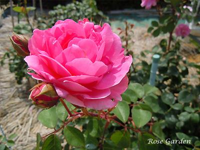 バラ(薔薇):ジョン クレア