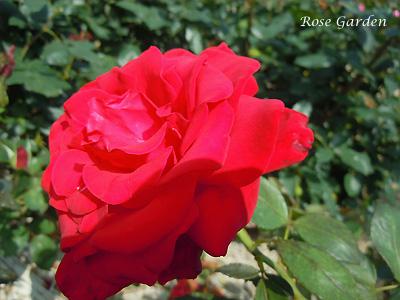 バラ(薔薇):プレシアス プラチナム