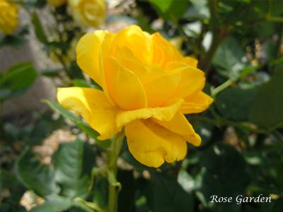 バラ(薔薇):伊豆の踊り子