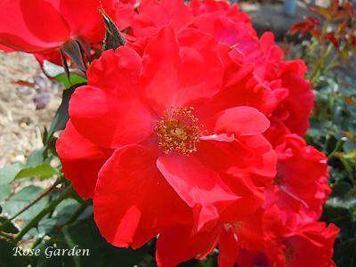バラ(薔薇):サラバンド