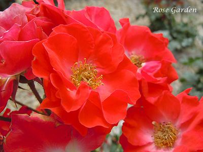 バラ(薔薇):コンチェルティーノ