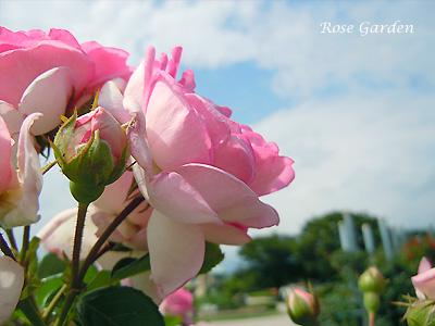 バラ(薔薇):ジャスミーナ