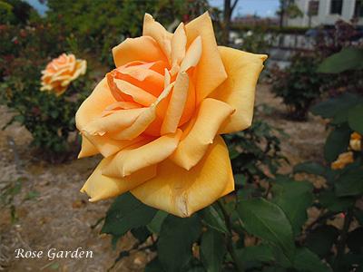 バラ(薔薇):バレンシア