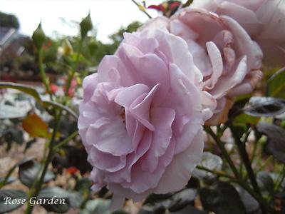 バラ(薔薇):ブルー バユー