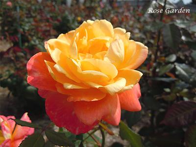 バラ(薔薇):シュペールバルク