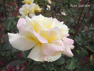 バラ(薔薇):ガーデン パーティ