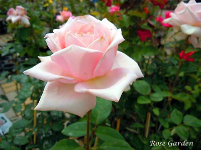 バラ(薔薇):メルヘンケニギン