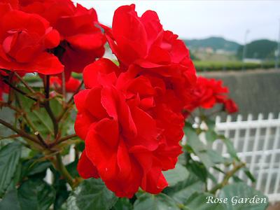 バラ(薔薇):イングリッド ウェイブル
