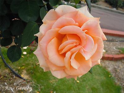 バラ(薔薇):マリリン モンロー