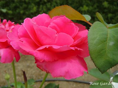 バラ(薔薇):恋心