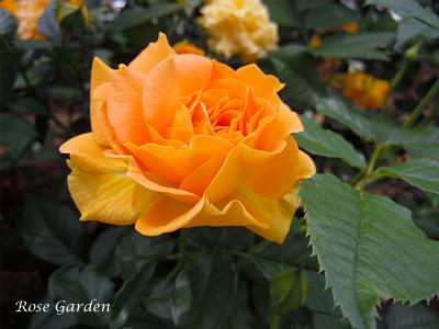 バラ(薔薇):ゴルデルゼ