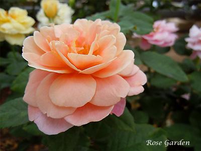 バラ(薔薇):ディスタント ドラムス