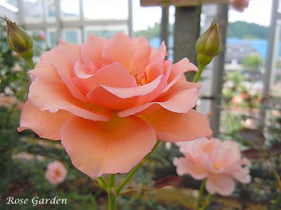 バラ(薔薇):アナスタシア