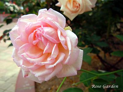 バラ(薔薇):デュシェス ドゥ ブラバン