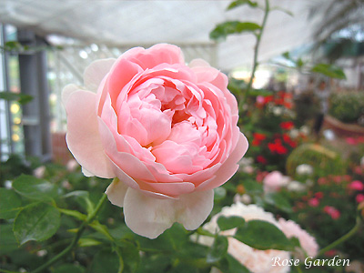バラ(薔薇):ハートフル