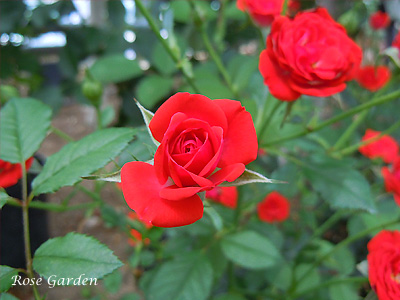 バラ(薔薇):紅姫
