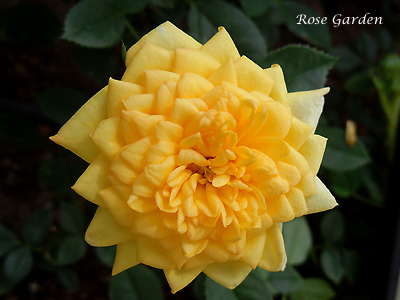 バラ(薔薇):ロイヤル メイアンディナ