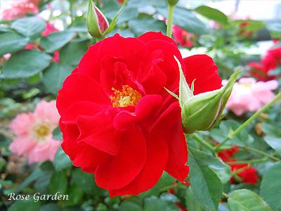 バラ(薔薇):リトル マーベル