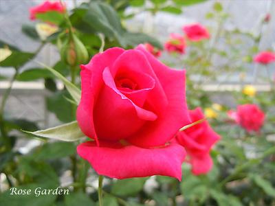 バラ(薔薇):レッド ミニモ