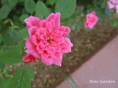 バラ(薔薇):ロージー ミニモ
