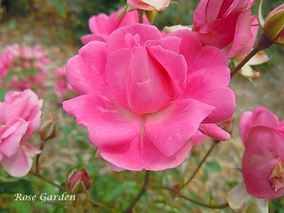 バラ(薔薇):アンヒェン ミュラー