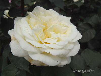 バラ(薔薇):ロイヤル プリンセス