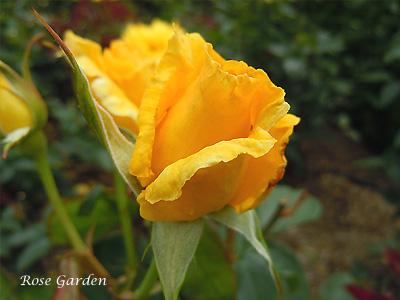 バラ(薔薇):ドフトゴールド