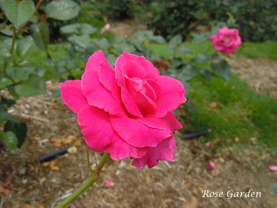 バラ(薔薇):マヌウ メイアン