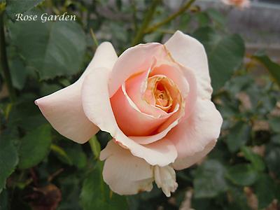 バラ(薔薇):ポール リカード