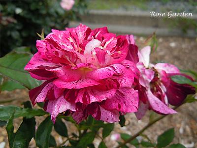 バラ(薔薇):パープル タイガー
