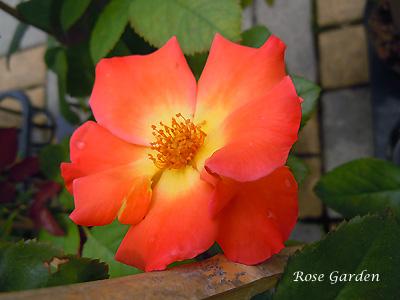 バラ(薔薇):プレイボーイ