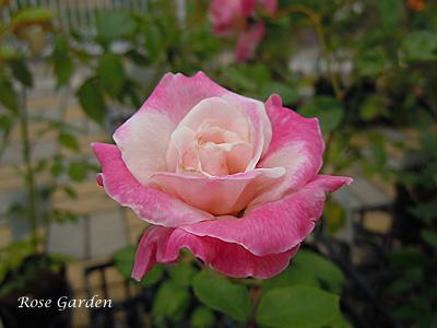 バラ(薔薇):オメール