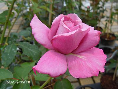 バラ(薔薇):マダム ヴィオレ
