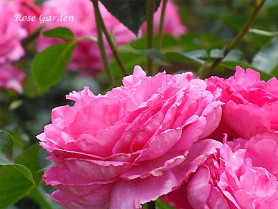 バラ(薔薇):イブ ピアッチェ