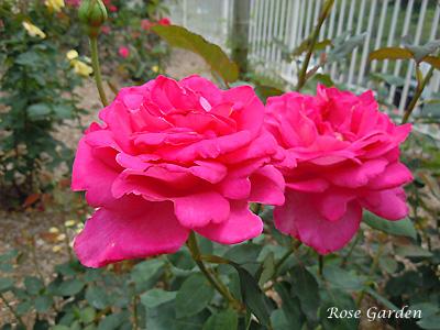 バラ(薔薇):キャンディ ストライプ