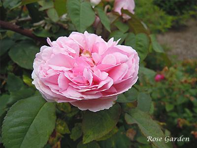 バラ(薔薇):マダム エルンスト カルバ