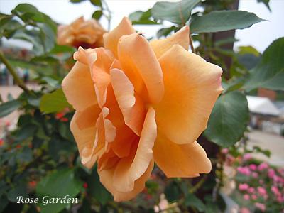 バラ(薔薇):つる ジュリア