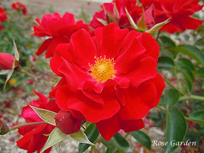 バラ(薔薇):マイナーフェアー